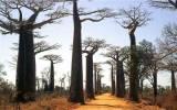 Loài cây khổng lồ nhất thế giới sắp biến mất