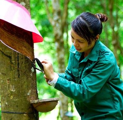Việt Nam trở thành nước sản xuất cao su tự nhiên lớn thứ 3 thế giới